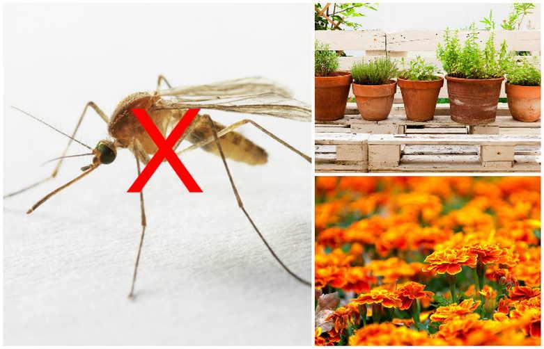 10 растений, которые отпугивают комаров на даче