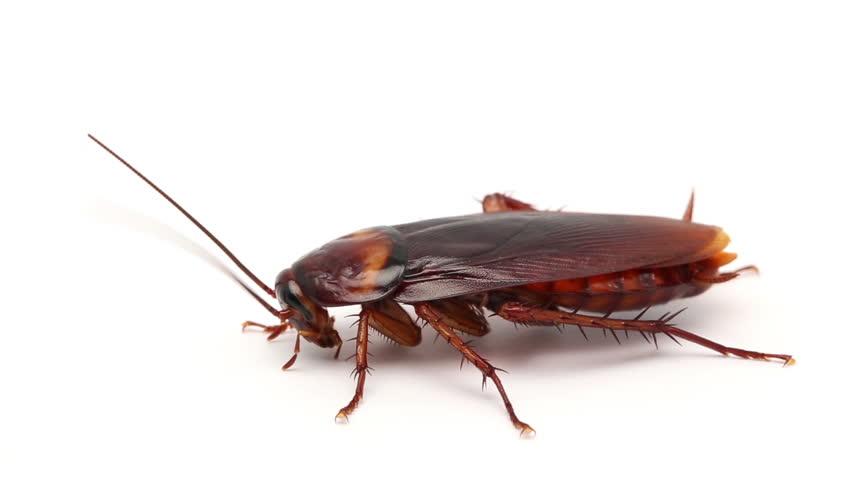 Сколько тараканы живут без воды и еды