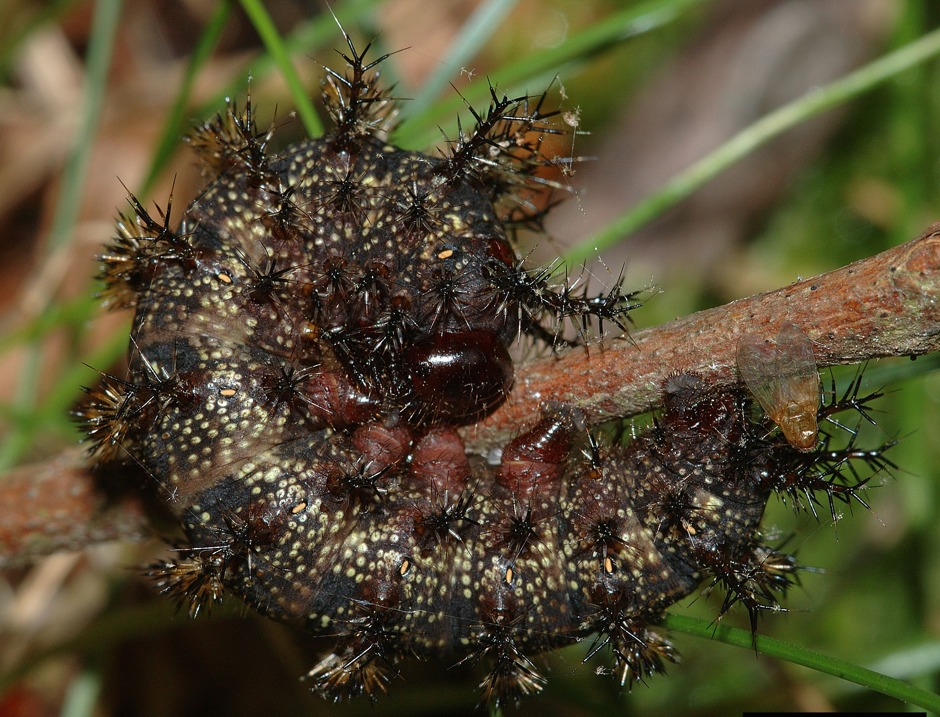 Описание и фото гусеницы бабочки махаона