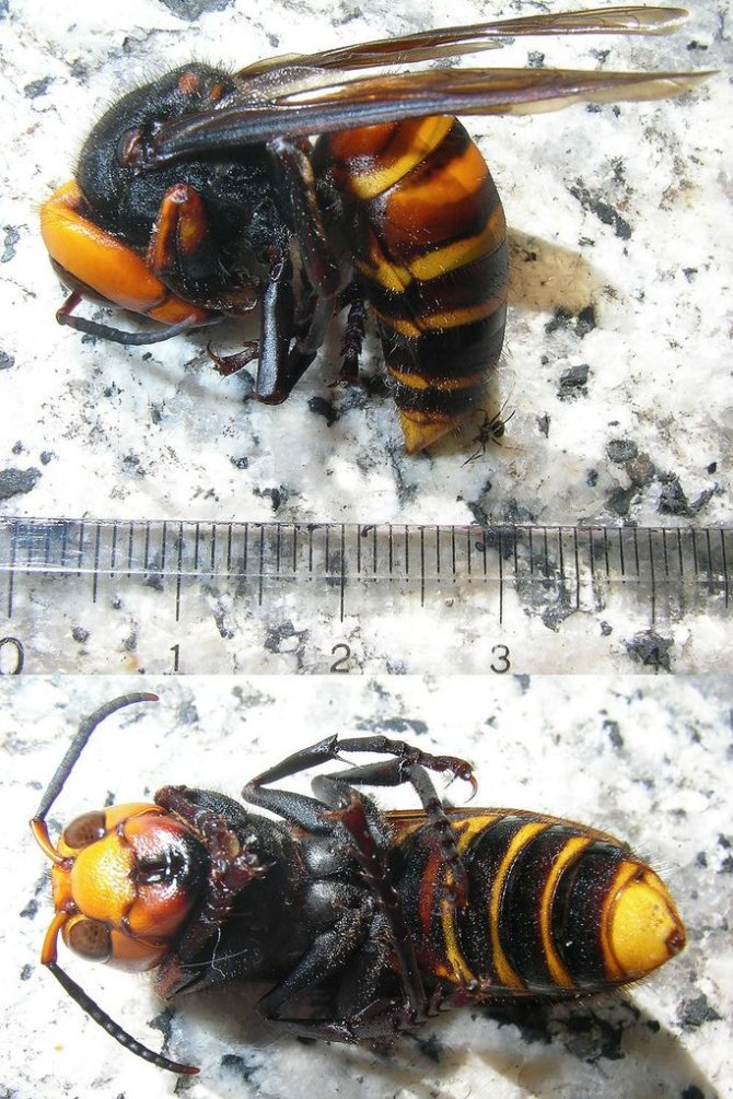 Гигантский шершень: жизнь и привычки самой крупной осы