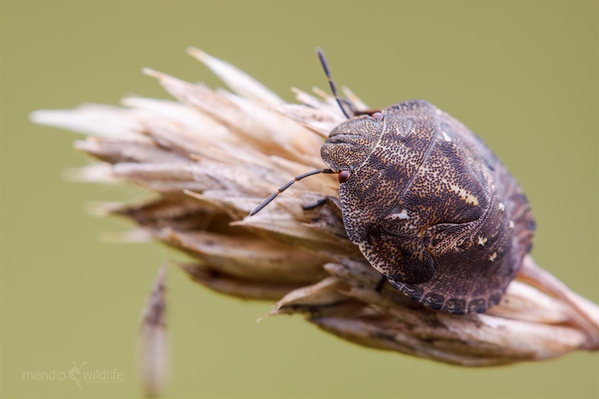 Клоп вредная черепашка: какой наносит вред для зерен пшеницы, способы избавиться