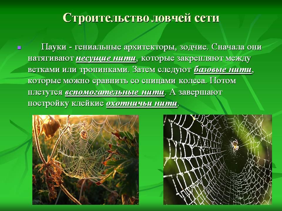 Как плетёт паутину паук-птицеед?