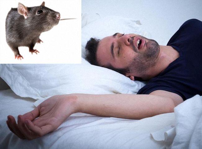 Почему крысы нападают на людей и чем могут быть опасны такие нападения - полонсил.ру - социальная сеть здоровья - медиаплатформа миртесен