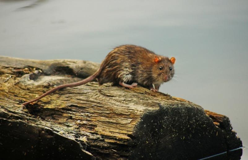 Как избавиться от крыс на участке: какой вред наносят, обзор лучших средств борьбы с ними - химические средства, физическое воздействие, отпугивание, живые крысоловки, санитарно-гигиенические меры