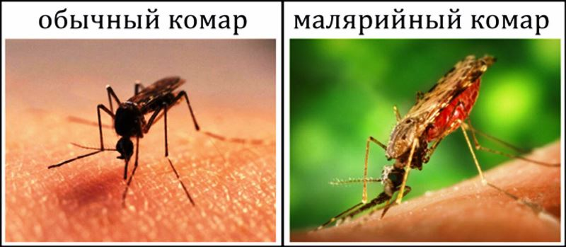 Малярийный плазмодий: стадии, виды, схема развития : жизненный цикл развития и строение малярийного плазмодия компетентно о здоровье на ilive