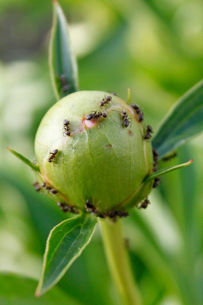Как бороться с муравьями, которые появились на пионах