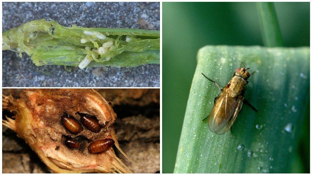 Как избавиться от луковой мухи дома зимой %