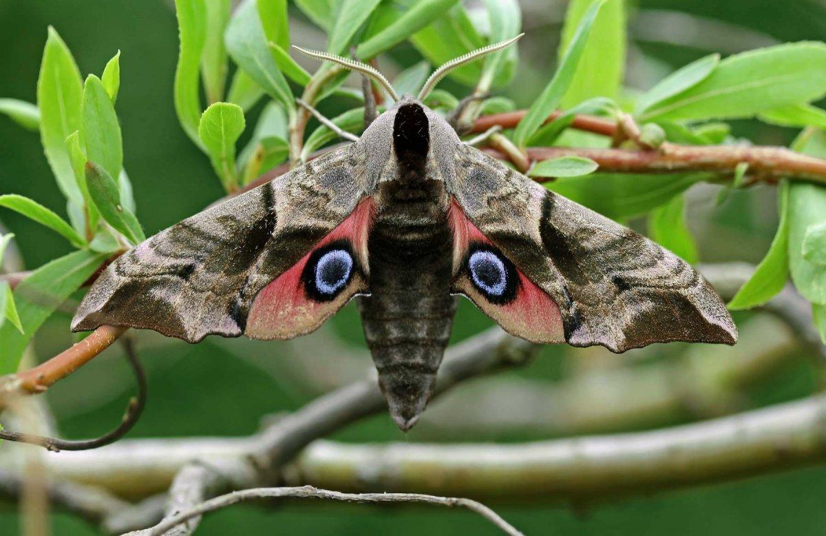 Бабочка бражник: фото и интересные факты о северных колибри