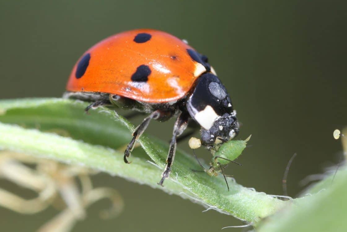 Тля в обозрении: белая, черная, домашня и другие виды