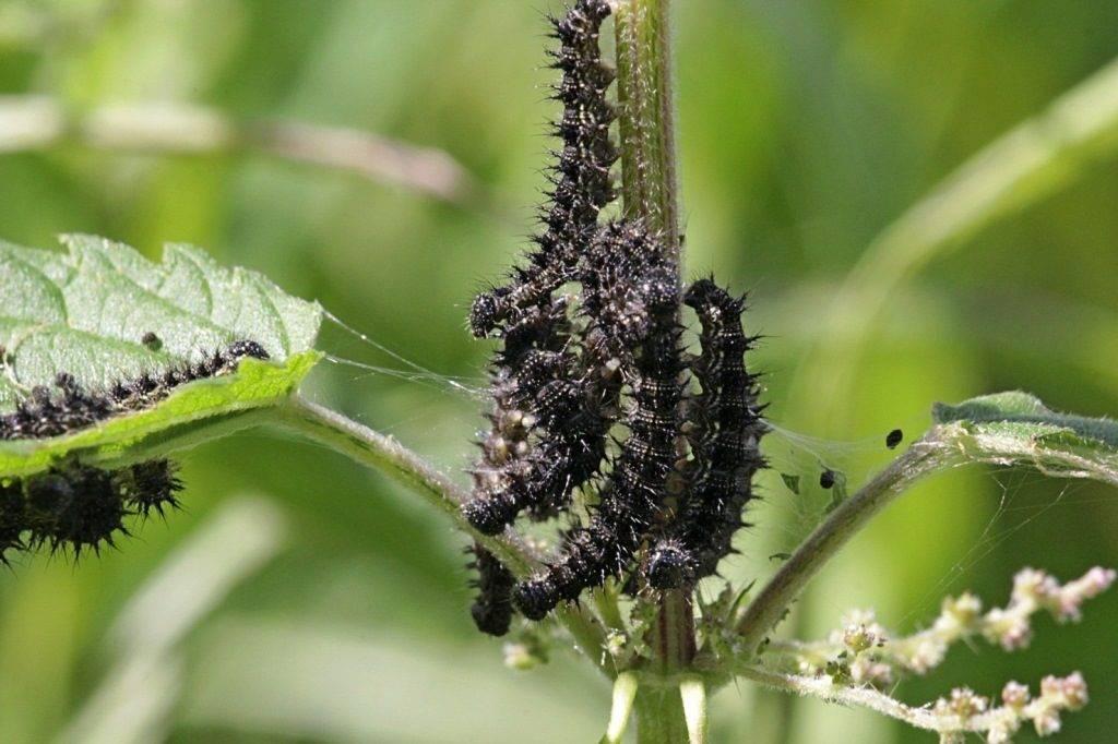 Как избавиться от бабочек-вредителей сада и огорода