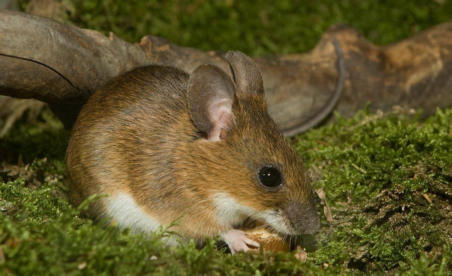 Виды и разновидности мышей их описание и фото