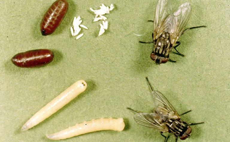Как убить личинок мух?