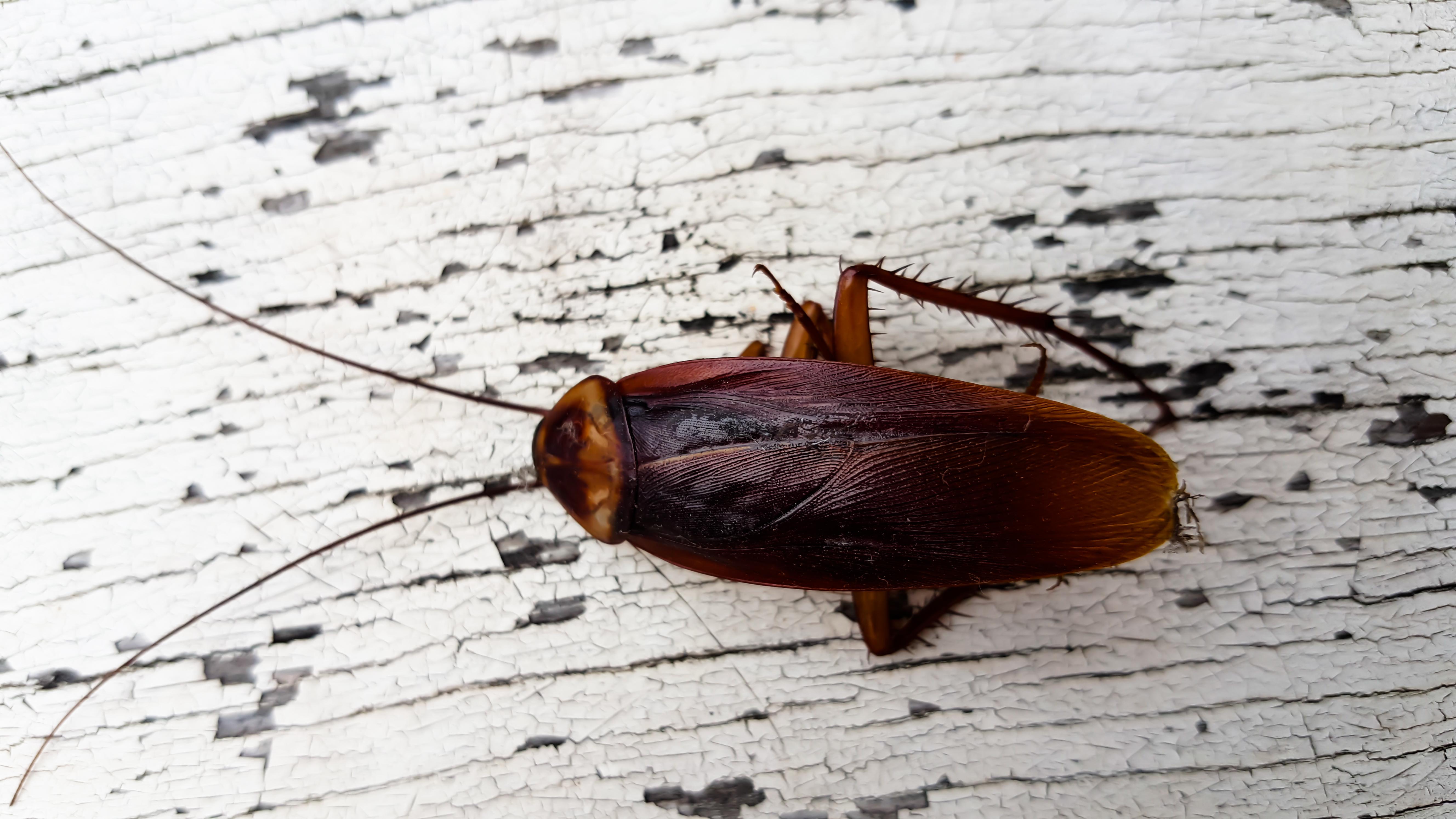 Тараканы: фото, виды (белые, американские, мраморные, домашние и другие), сколько живут эти насекомые, кусаются ли они