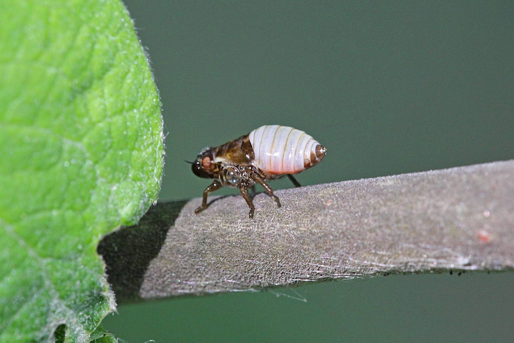 Радужница водная: образ жизни и распространение необычных жуков