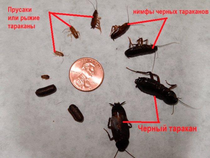 Как быстро избавиться от появившихся в квартире черных тараканов?