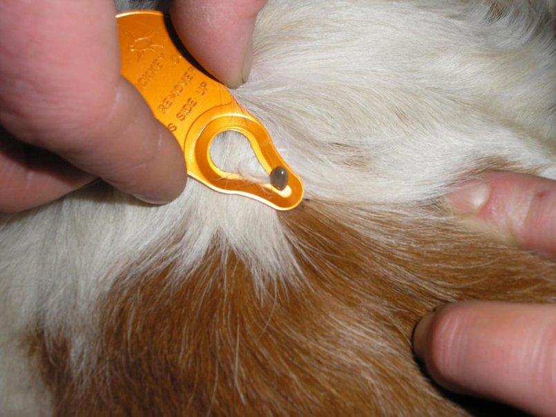 Подкожный клещ у морских свинок: способы заражения, признаки появления паразита, диагностика, лечение и советы по уходу после него