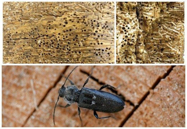 Эффективные средства от жука точильщика в деревянном доме
