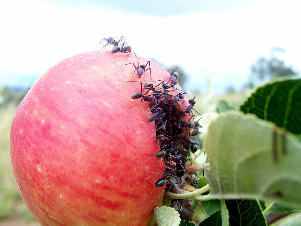 Муравьи на яблоне: как бороться с вредителем, видео и фото