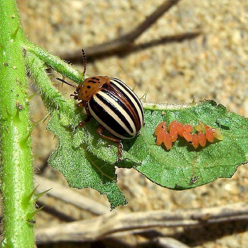 Как выглядит колорадский жук: описание, фото и особенности развития русский фермер