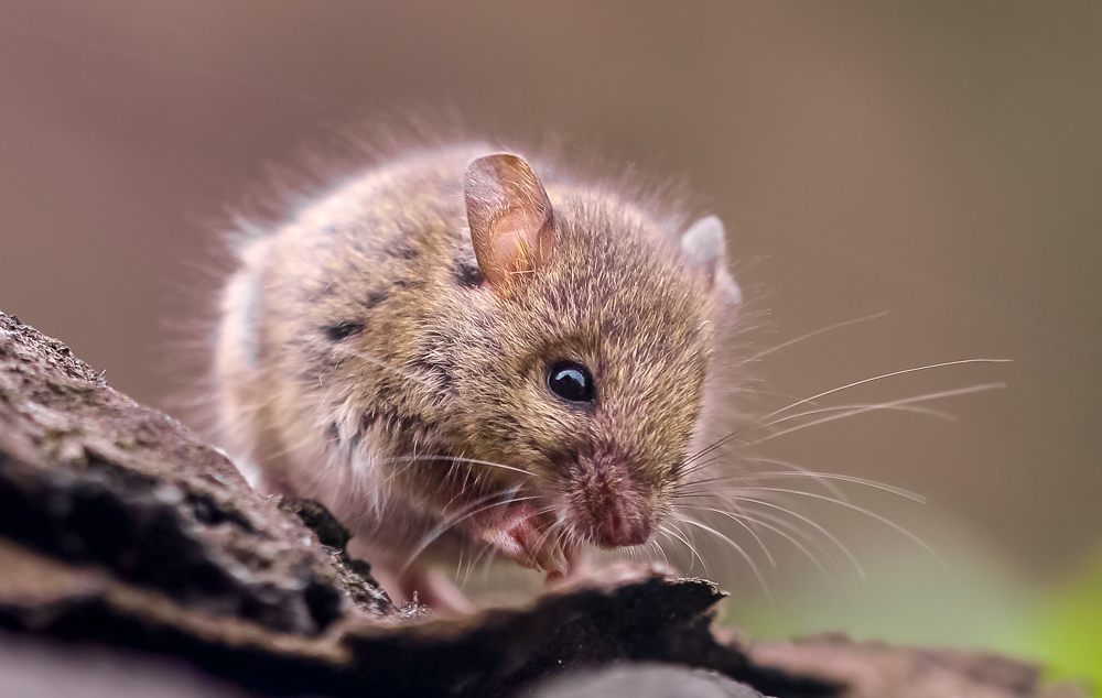 Мышь полевка: описание, как выглядит, чем питается, размер