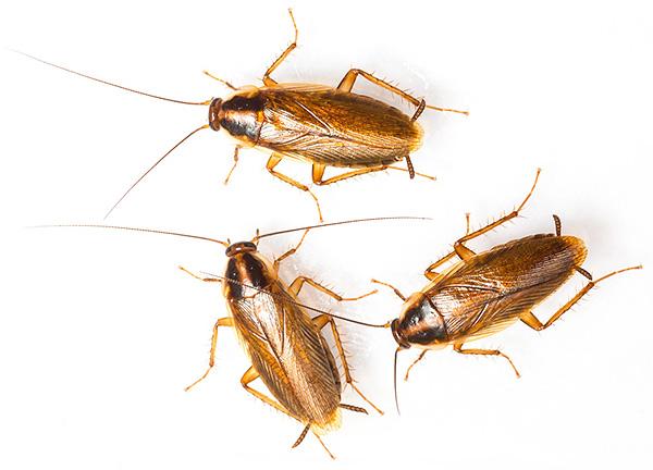 Особенности размножения и жизненного цикла тараканов