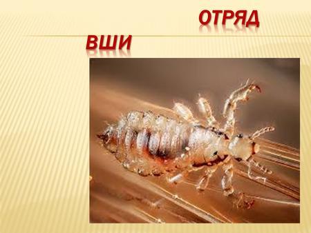 Бельевые вши: уничтожение насекомых от сэс: рекомендации по уничтожению от сэс