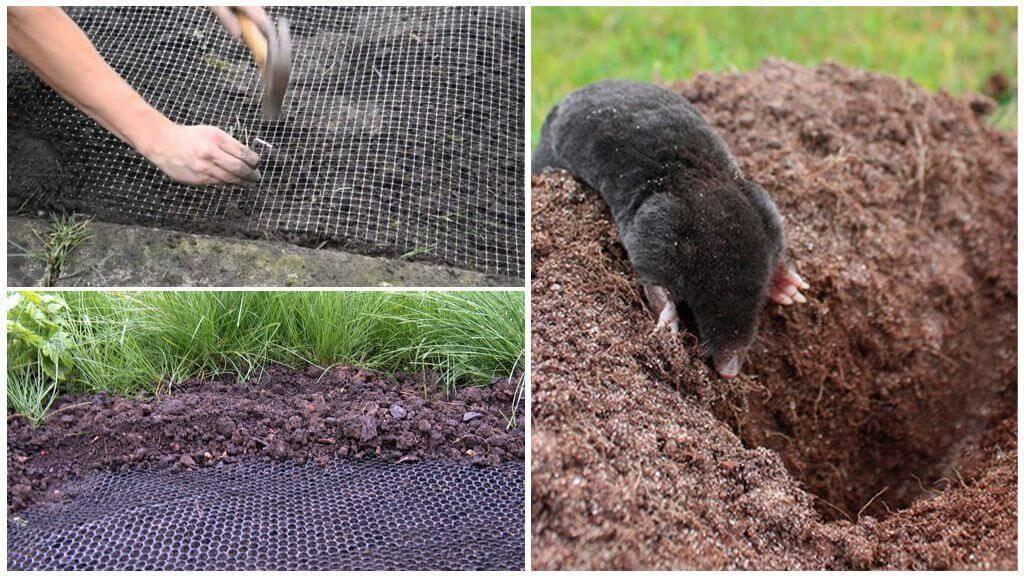 Водяная крыса или полёвка: методы борьбы с вредителем