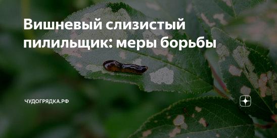 Вишневый слизистый пилильщик. как уберечь вишневый сад от слизистого пилильщика слизняки пожирающие зеленую часть листа вишни