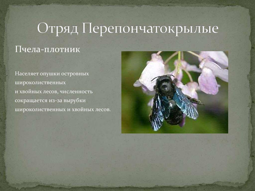 Черная пчела плотник - описание (фото, видео)