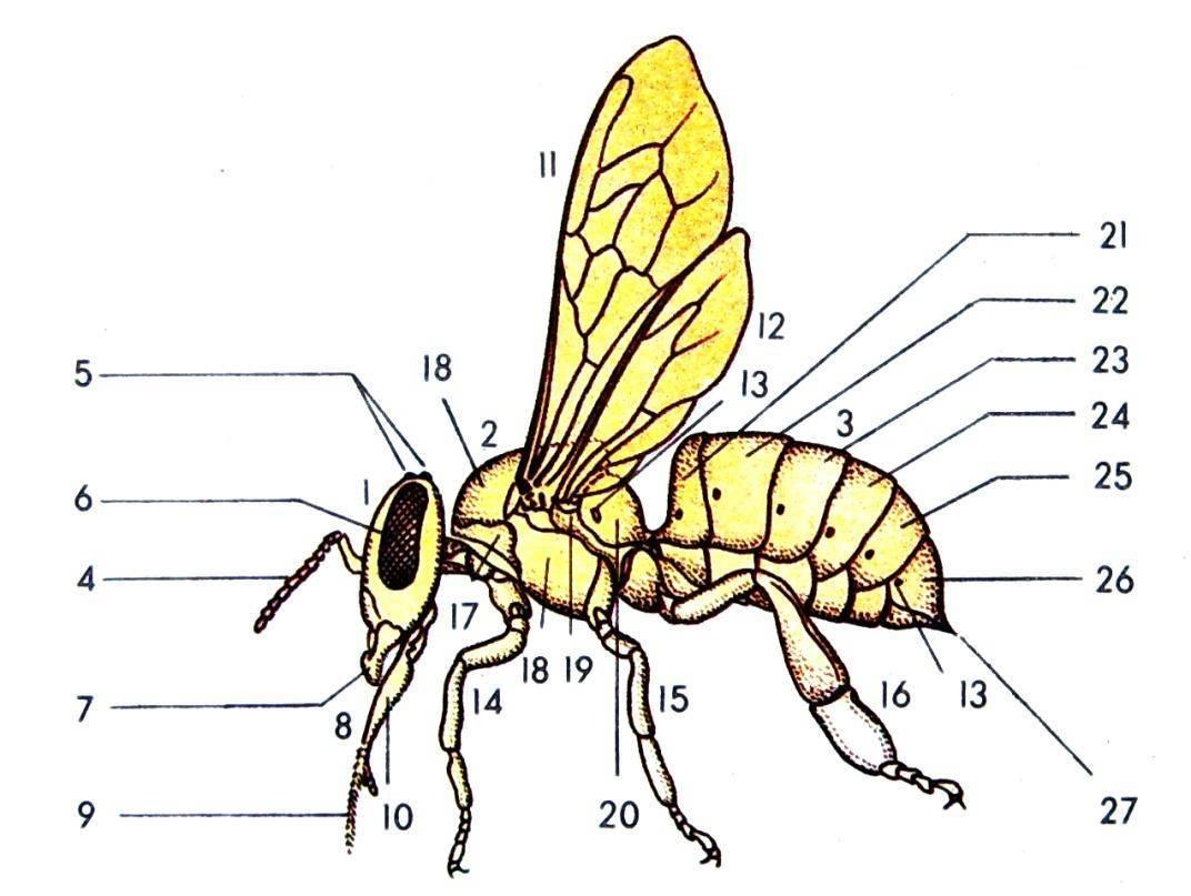 Оса: представитель жалящих насекомых, описание,где живут и чем питаются представители вида