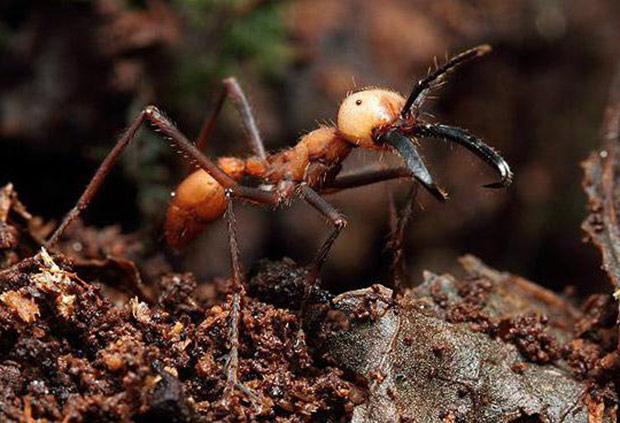 Огненные муравьи. красные или огненные муравьи-жнецы. мухи-горбатки в борьбе с огненными муравьями
