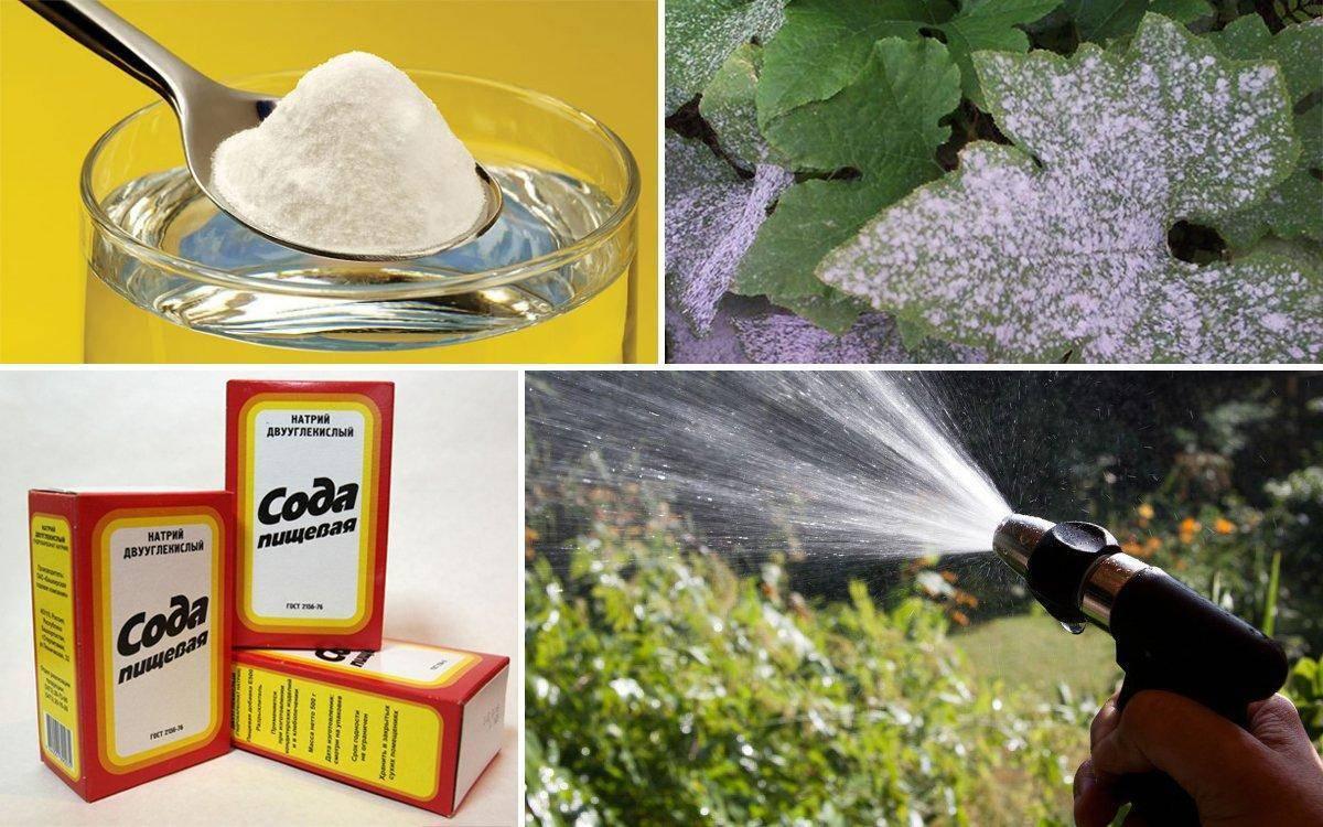 Сода от мучнистой росы и против тли: обработка кустов смородины пищевой
