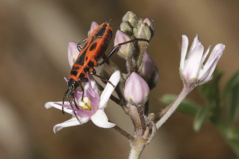 Чем питаются солдатики жуки