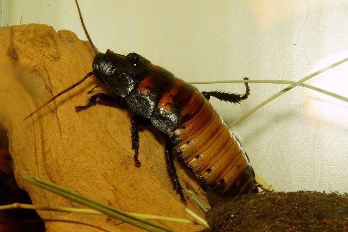 Кубинский крылатый таракан