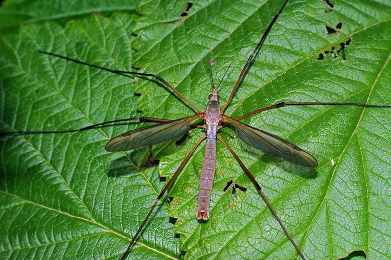 Наносит ли вред комар-долгоножка?