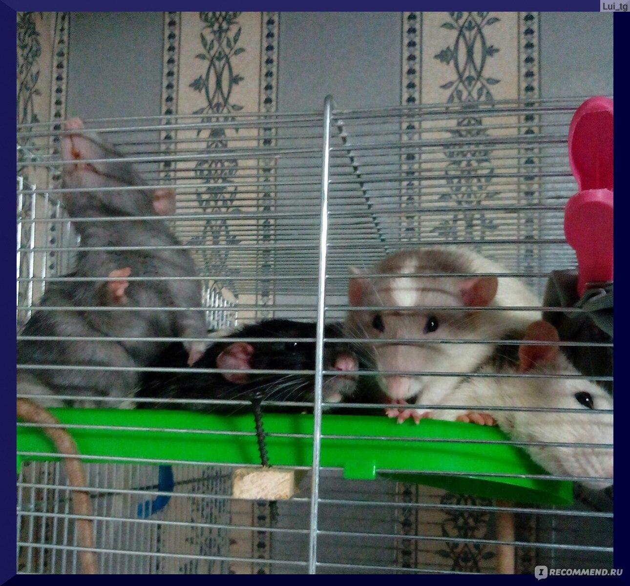 Все о крысах - интересные факты, виды и их описание