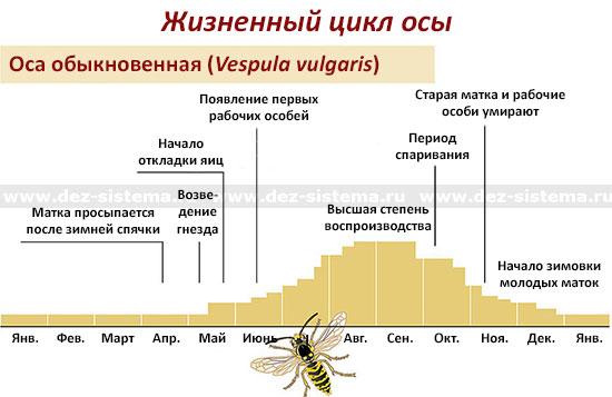 Как выглядит пчелиная матка