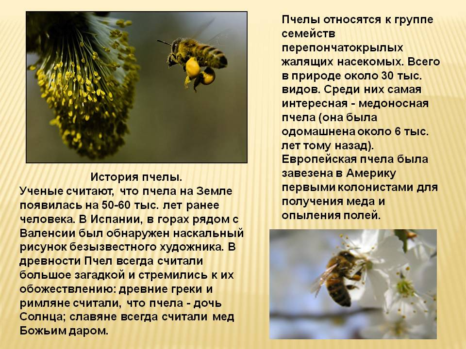 Как пчелы делают мед: этапы и краткое описание процесса