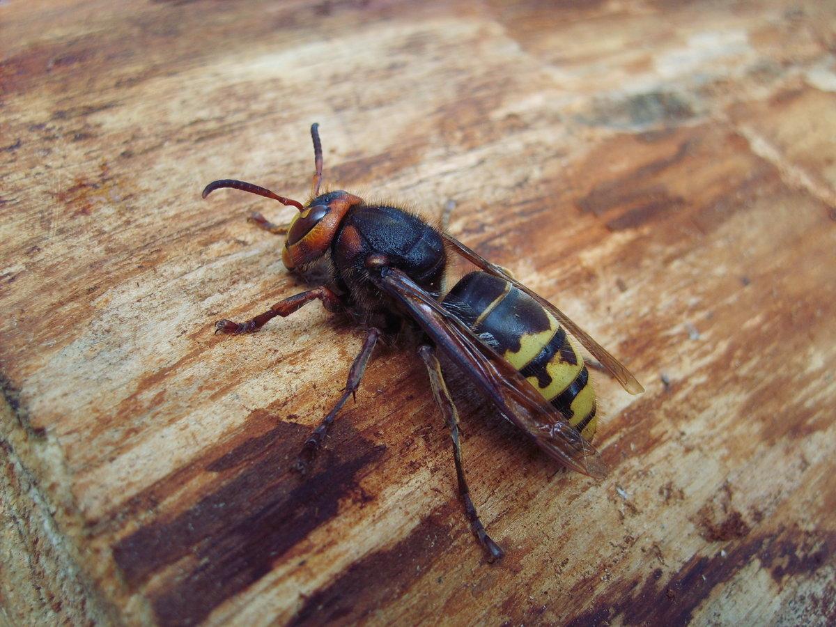 Кто такой шершень: чем опасен укус жалящего шершня и размер его гнезда, как выглядит крупное насекомое и описание его среды обитания