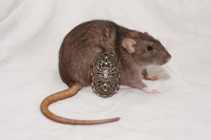 Кто завелся в доме: мышь или крыса?