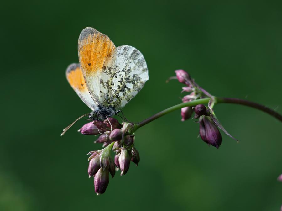 Бабочка зорька – весеннее настроение на лугах и в парках