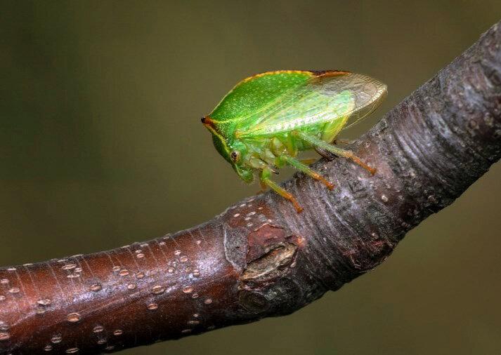 Как бороться с цикадкой на даче