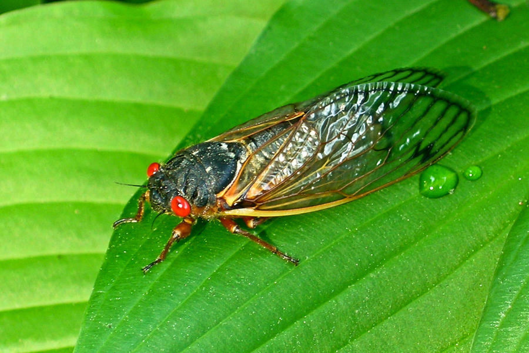 Насекомые и их знакомые №8 - азиатская цикада