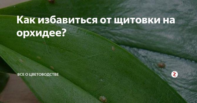 Щитовка на комнатных растениях: как бороться, фото, особенности и причины появления - sadovnikam.ru