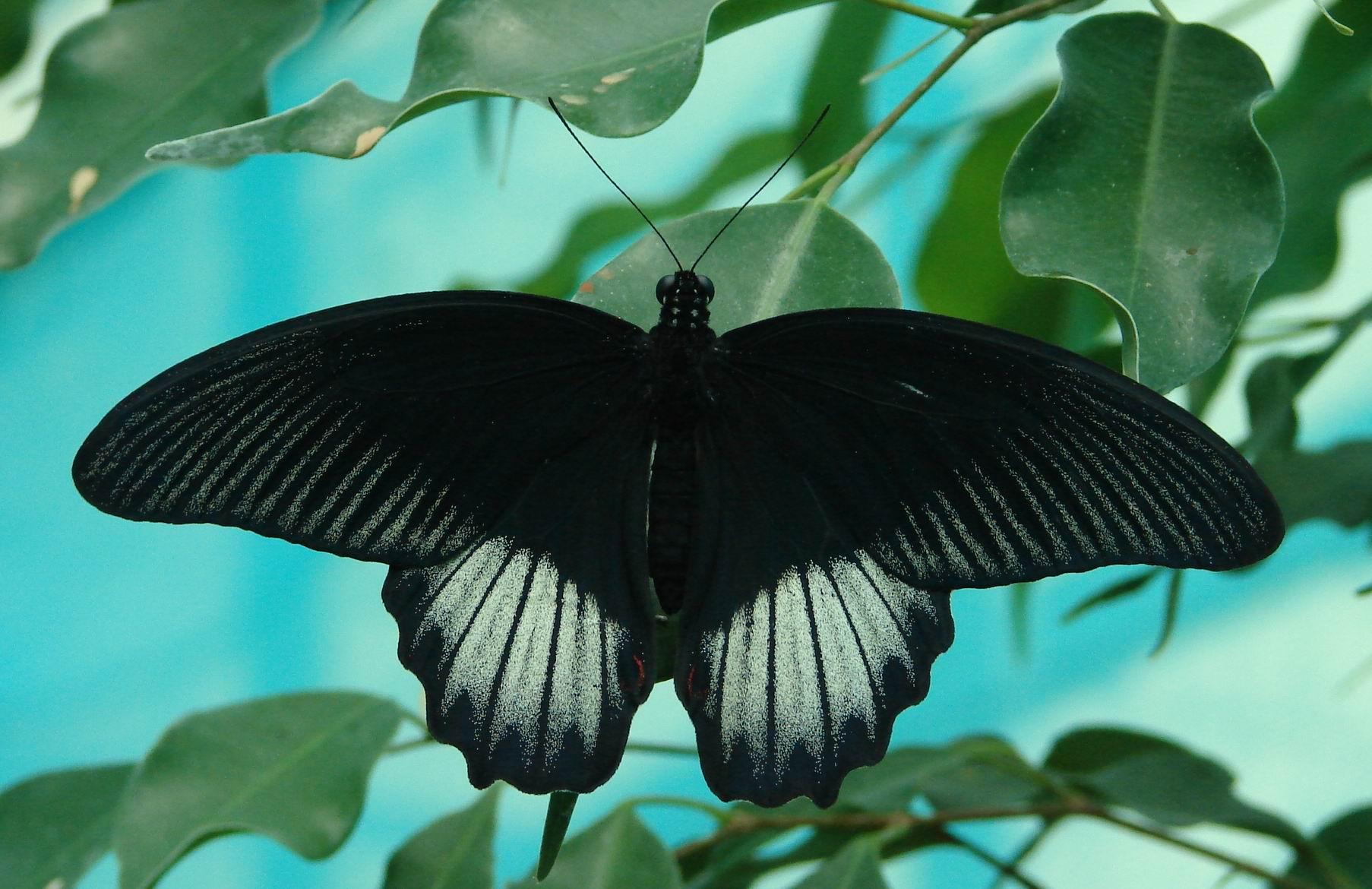 Бабочка подалирий: описание, жизненный цикл, места обитания. парусник махаон