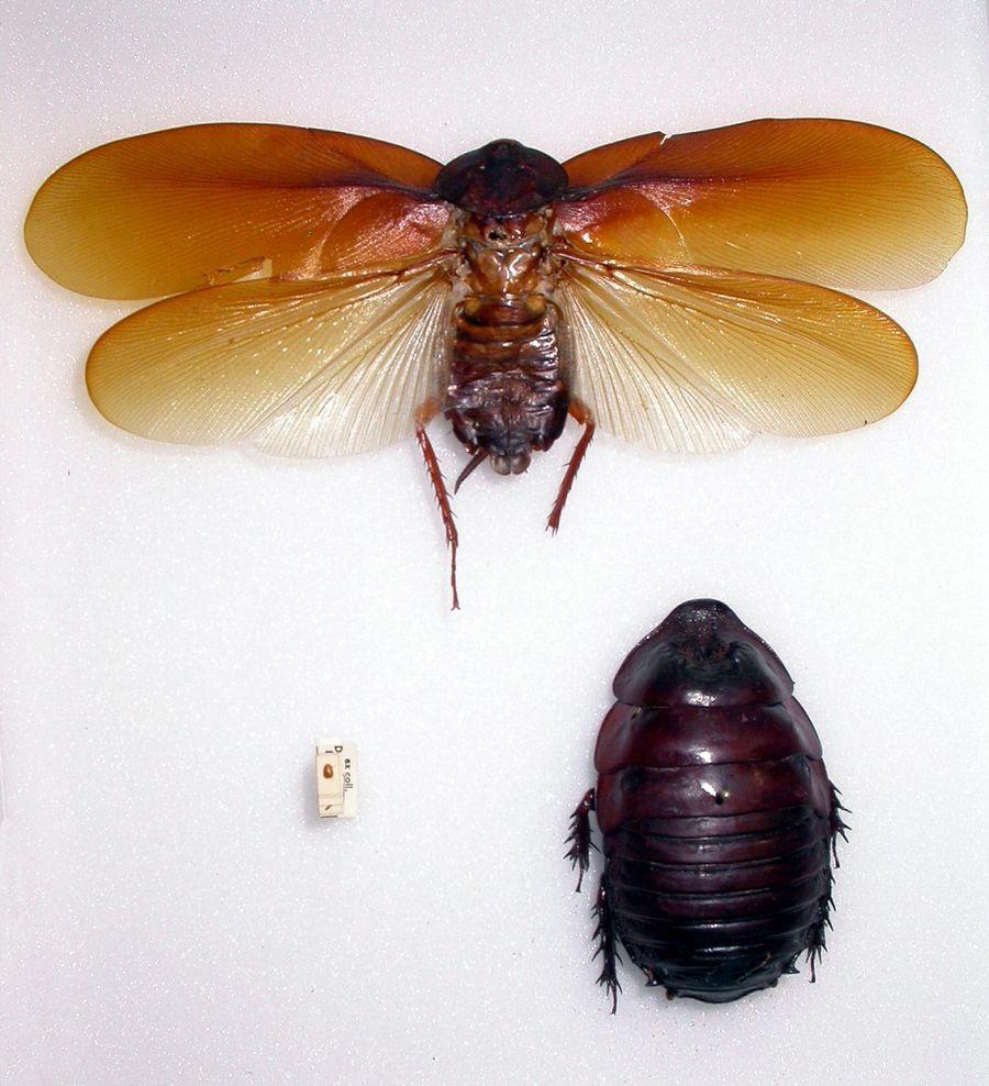 Умеют ли клопы летать или прыгать, у каких видов есть крылья