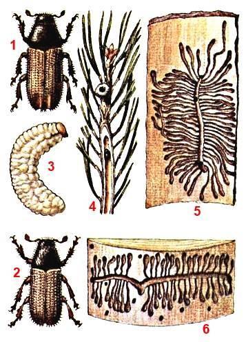 Короед-типограф: жук – стволовой вредитель ели и других хвойных