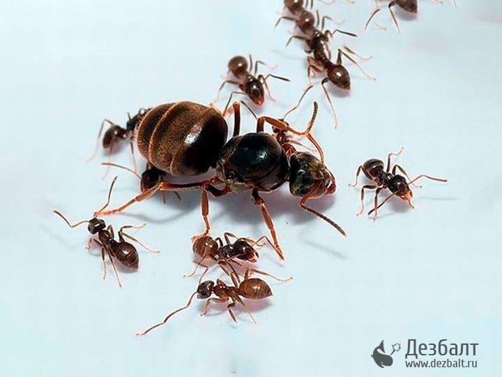 Лесные и садовые муравьи: виды, особенности, вред и польза