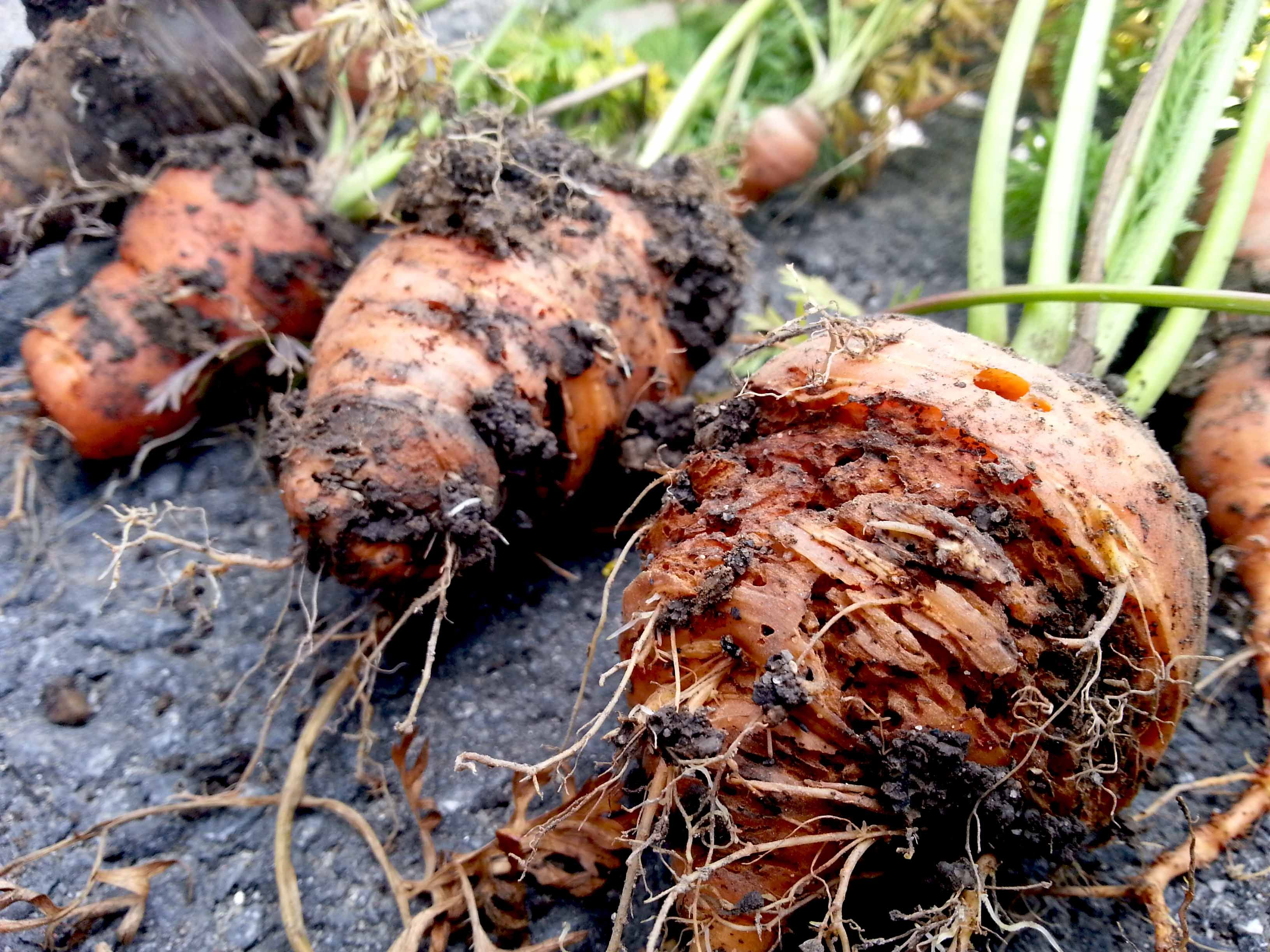 Как предотвратить раннее гниение корнеплодов — agroxxi