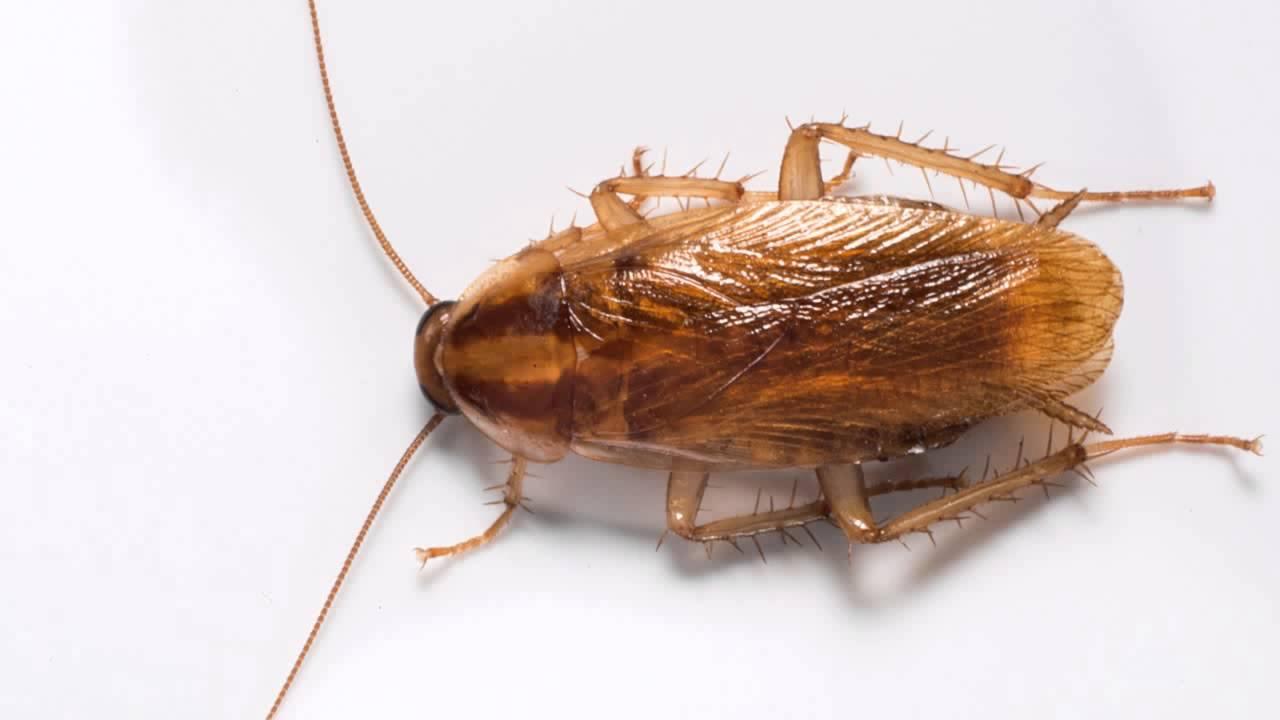 Рыжий таракан: как бороться с прусаками в квартире
